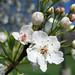 tree blossoms - 4/13/10