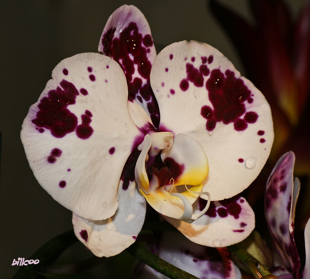 white spotted orchid flower - photo #12