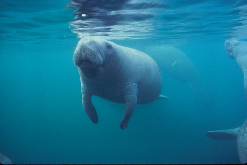Florida manatee | by USFWS/Southeast