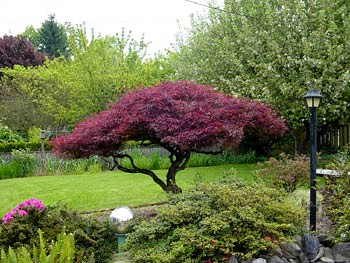 Crimson queen japanese maple japanese maple crimson for Trees garden of jane delawney blogspot