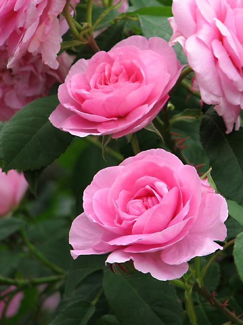 rose gertrude jekyll english rose gertrude jekyll. Black Bedroom Furniture Sets. Home Design Ideas