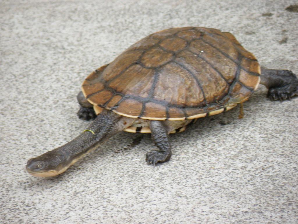 Eastern long neck or snake neck turtle my pet turtle jock