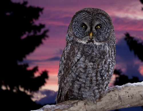 Great gray owl - Chouette Lapone | by Indydan