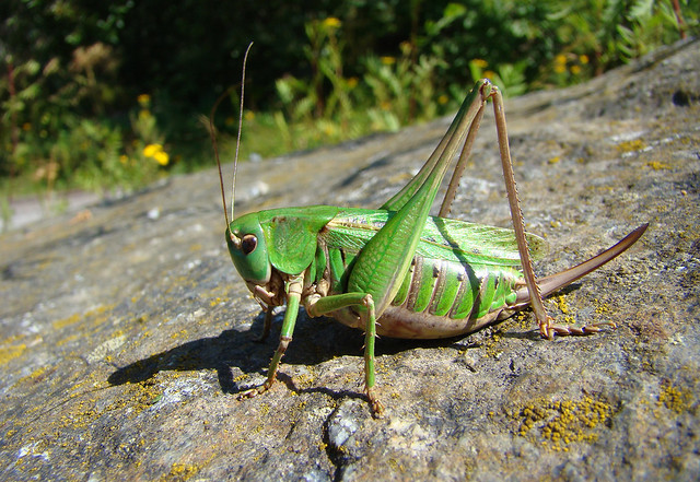 Image result for wart biter cricket