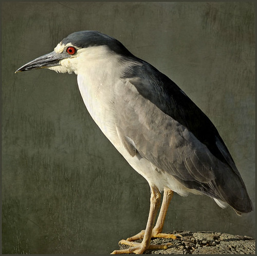night heron | by me*voilà