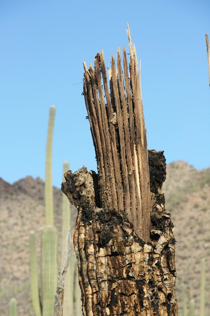 Anatomy of a Dead Saguaro Cactus   Dead Cactus   Indradeep   Flickr