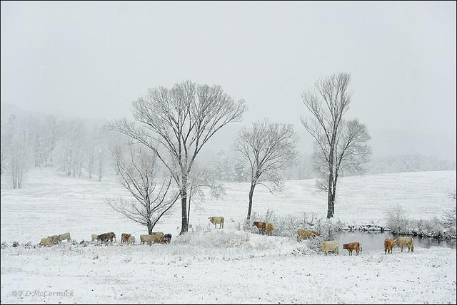 Arkansas >> An Arkansas Winter (2973a) | Heavy, wet snow began falling e… | Flickr