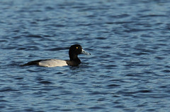 Aythya marila - Negrelho/ Greater Scaup | by António A Gonçalves