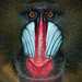The boss mandrill