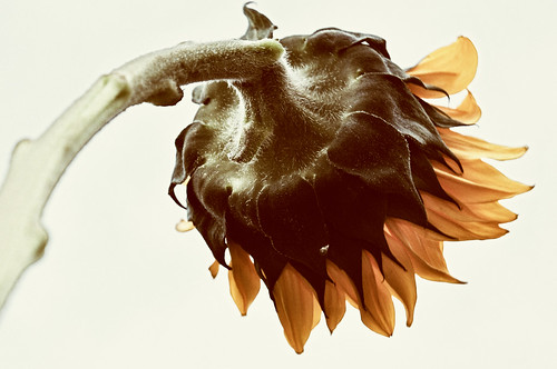 Day 191 - Old Sunflower | by joel8x