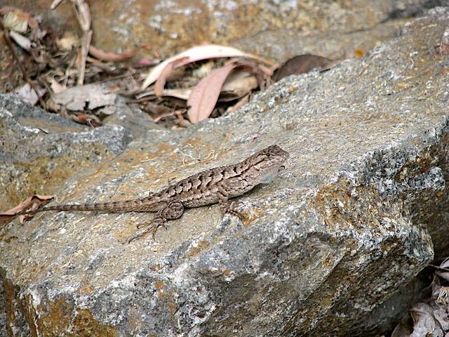 Western Fence Lizard | Explore mschmidt62's photos on ...