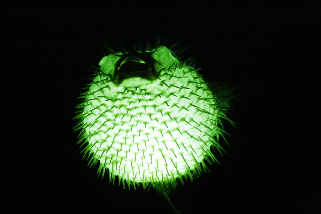 Poof puffer fish lamp over the bar otto 39 s shrunken for Puffer fish lamp