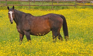 Horse in buttercups | by R. Sawdon Photography