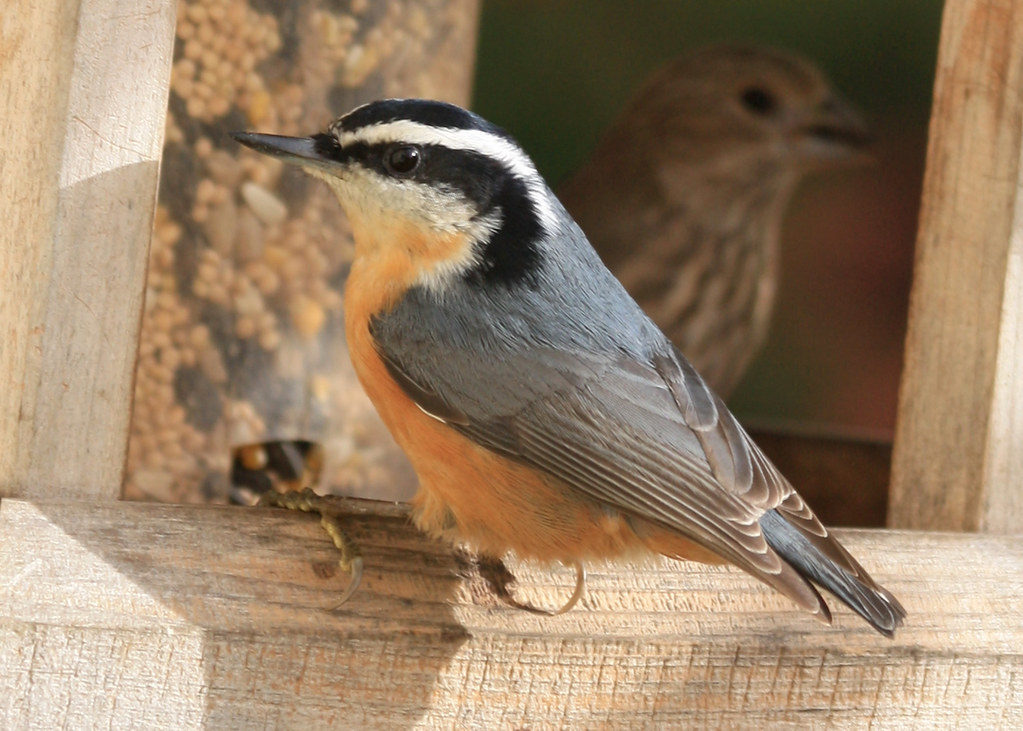 Birds chickadees and nuthatches flickr for Oregon fish and wildlife jobs