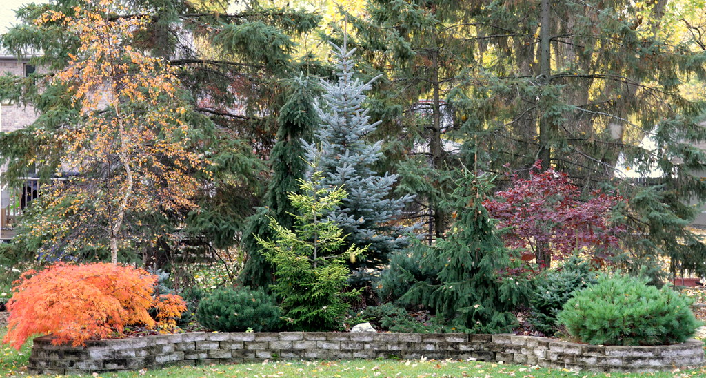 My conifer garden in fall 2010 fall color in my conifer
