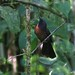 Costa Rica: Black-cheeked Ant-tanager