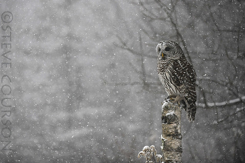 barred owl in snowstorm #2 | by Steve Courson
