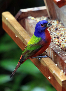 Painted Bunting | by Laura Erickson