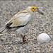 Egyptian Vulture breaks an egg