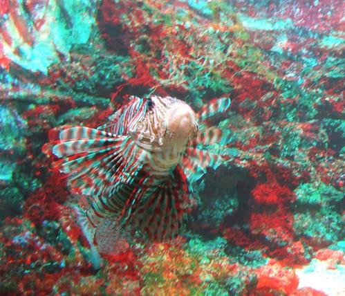 Lion fish in Artis zoo, 3D photo (anaglyph) | 3D photo taken… | Flickr