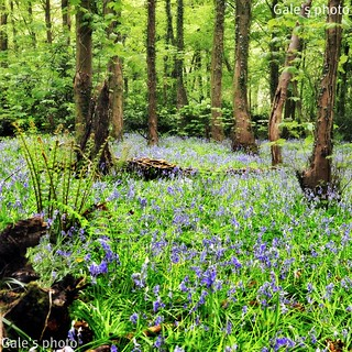 More bluebells. | by Gale's Photographs