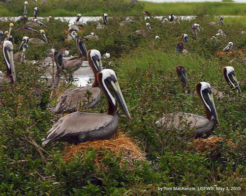 Nesting brown pelicans | by USFWS/Southeast