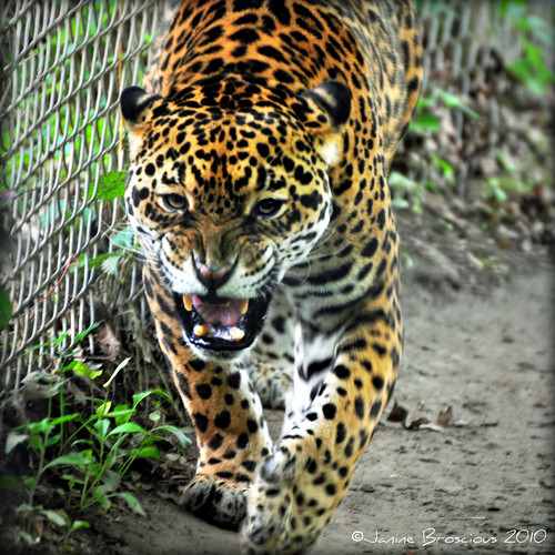 Jaguar Growling: This Jaguar Kept Pacing And Growling. Looked