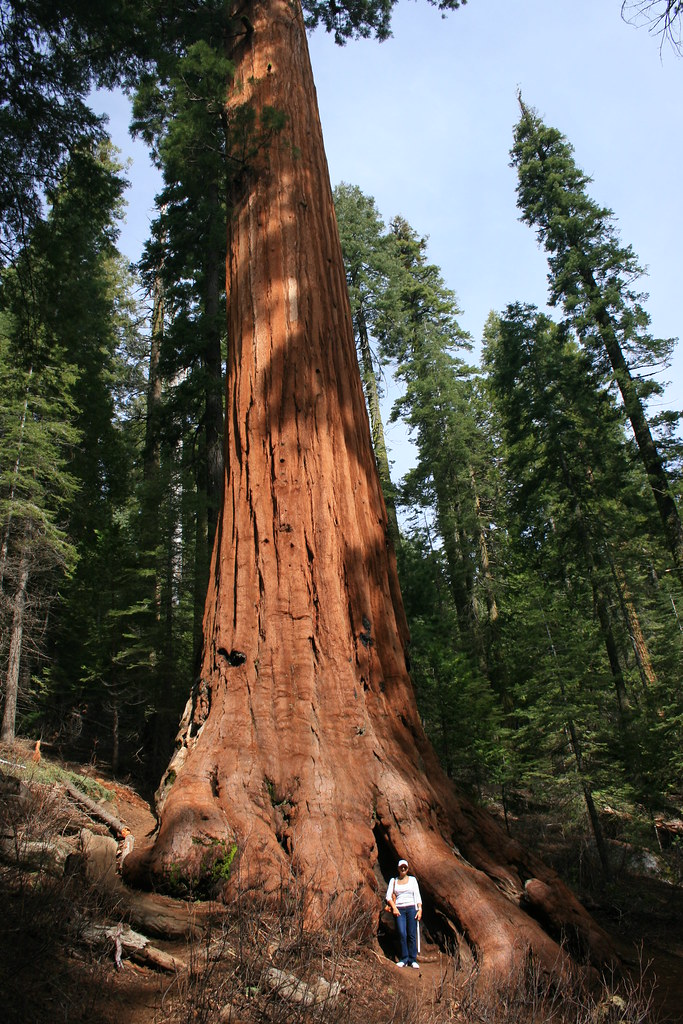 Giant redwood at Mariposa Grove