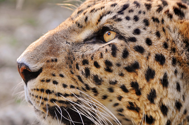 Profile of the male leopard