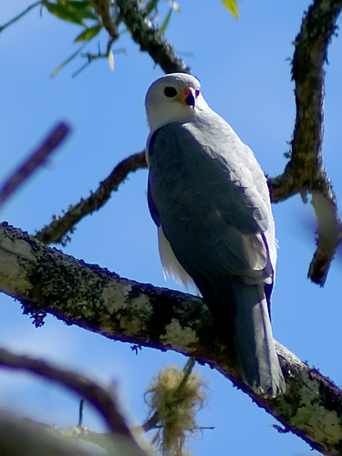 Grey Goshawk (Accipiter novaehollandiae) | by David Cook Wildlife Photography