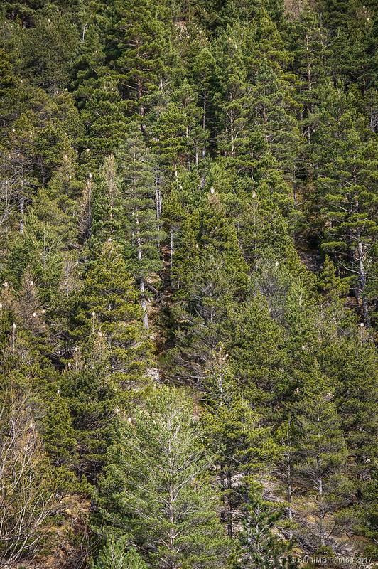 Procesionaria en los pinos del Torrent del Forn