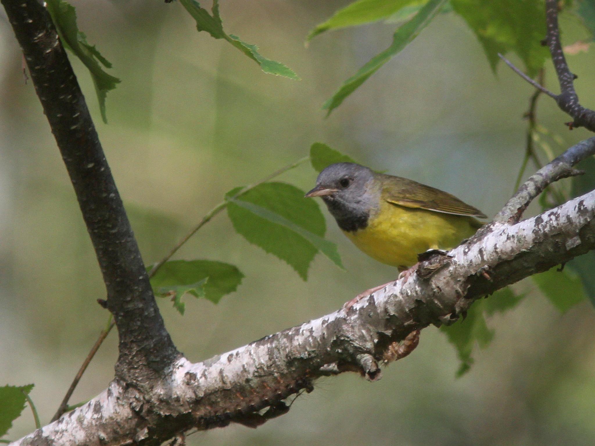 Quabbin birding and beyond: Mourning Warbler at Quabbin ...