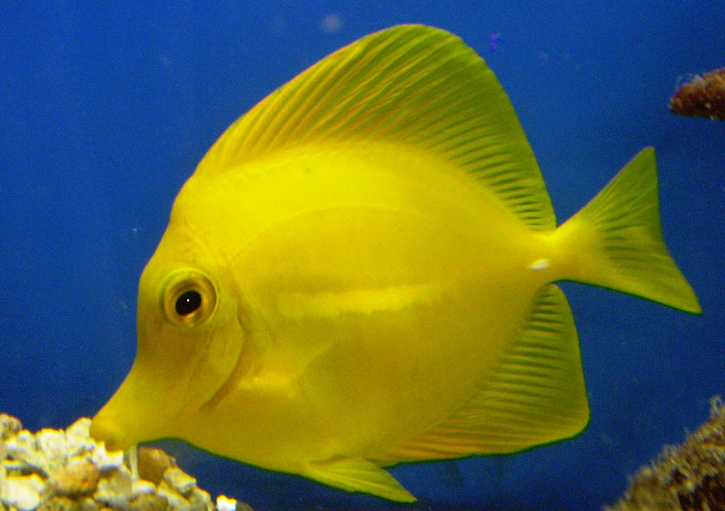 The gallery for blue tang for Yellow tang fish