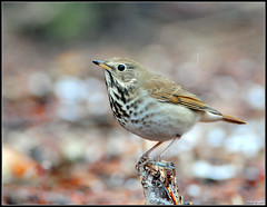 Hermit Thrush | by Roy Cohutta