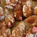 Chicken patch