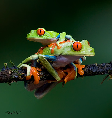 Two-red-eyed-frogs | by Judylynn M.