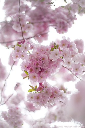 Cherry blossom | by Pierre Pocs