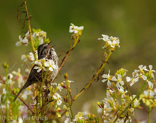 Sparrow in the wildflowers | by Pat Ulrich
