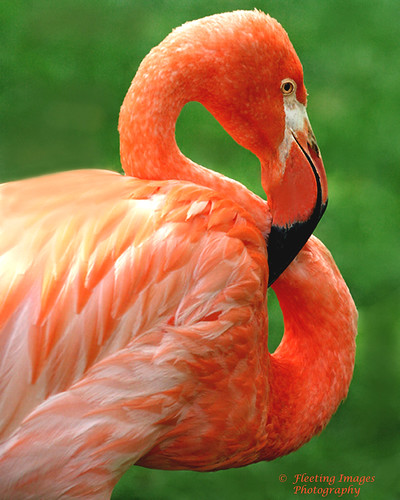 Flamingo | by fyimo