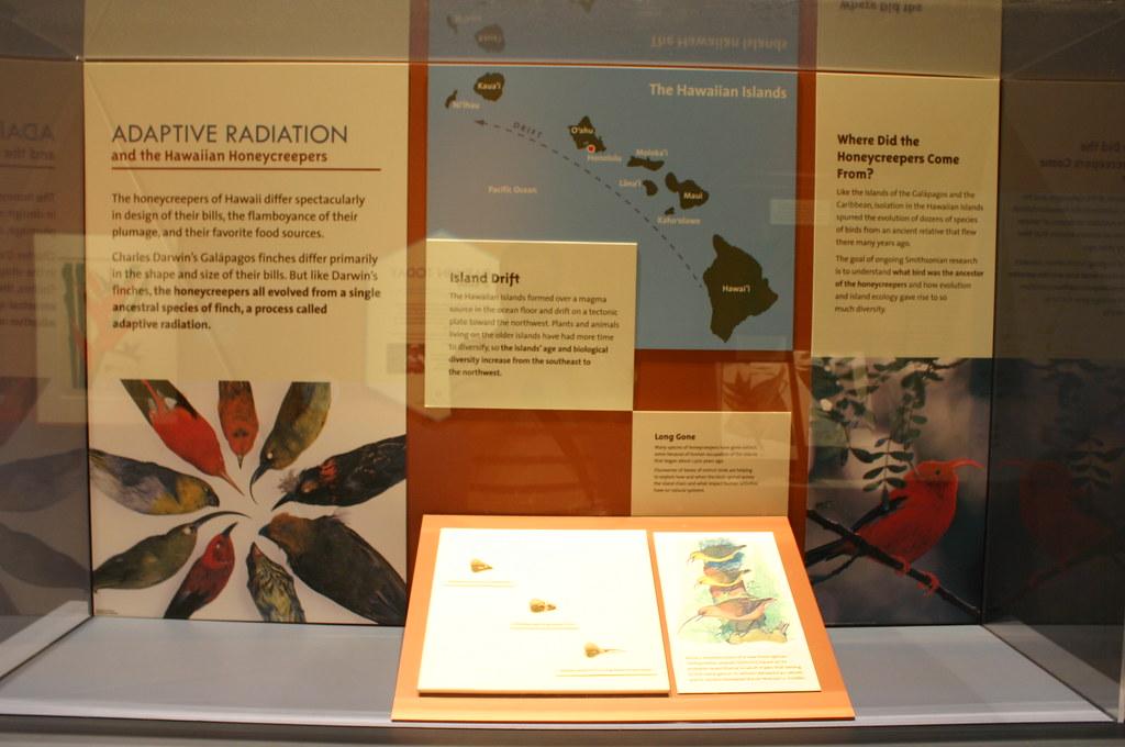 Adaptive radiation in Hawaiian honeycreepers  YouTube