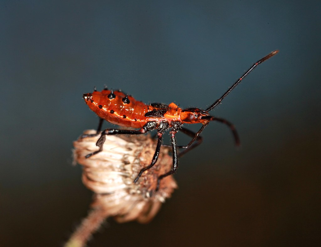 Leaf-Footed Bug, nymph | This is the nymph form of the leaf-… | Flickr