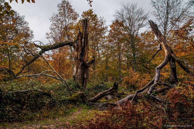 Un árbol partido en medio del sendero de los Robles Milenarios