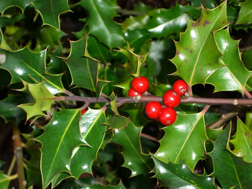Holly plant delight The holly plant is a sight for sore ey…