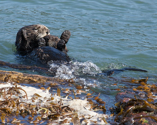 Sea otter and pup | by Tom Clifton