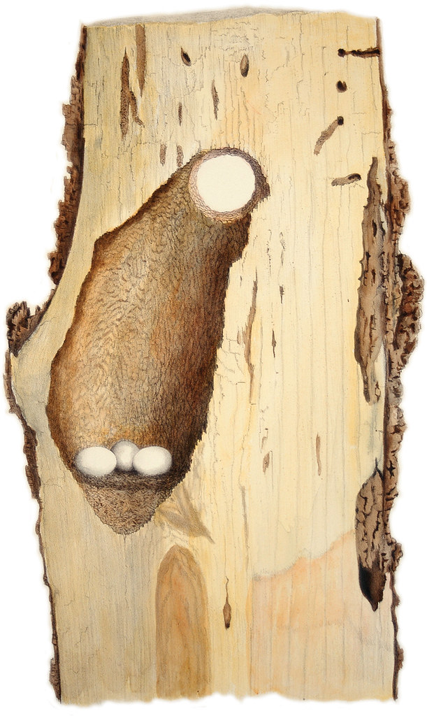 Downy Woodpecker Nest Downy Woodpecker Nest | by