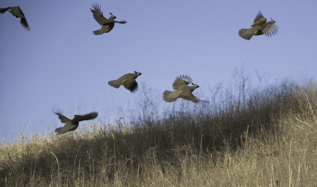 Quail in Flight | Lowe...