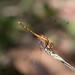 dragonfly 023.jpg