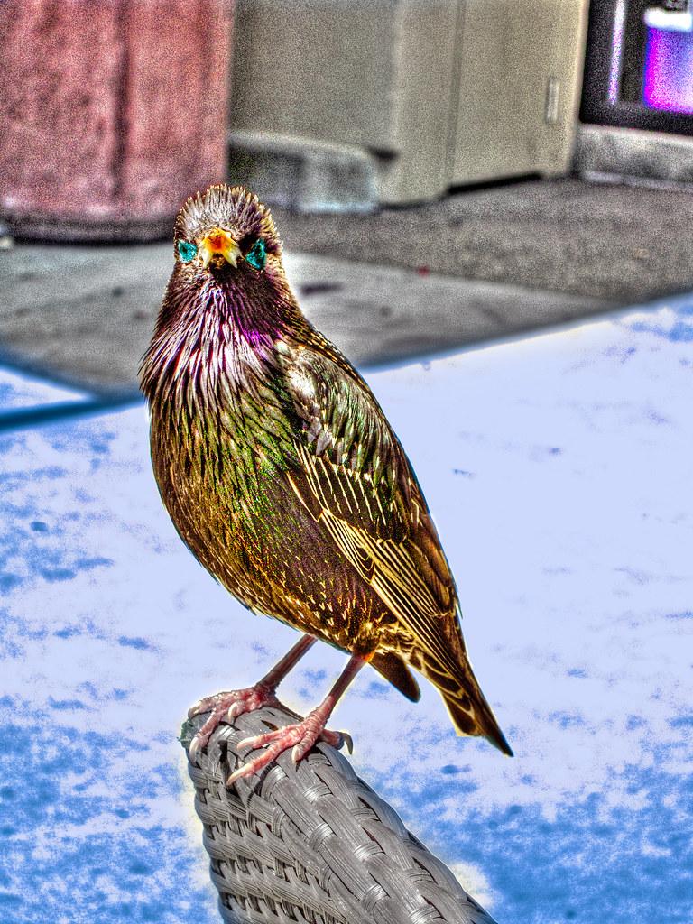 Blue-Eyed Razbacani Bird Faux Hdr Dal mi je videti, kot-1278
