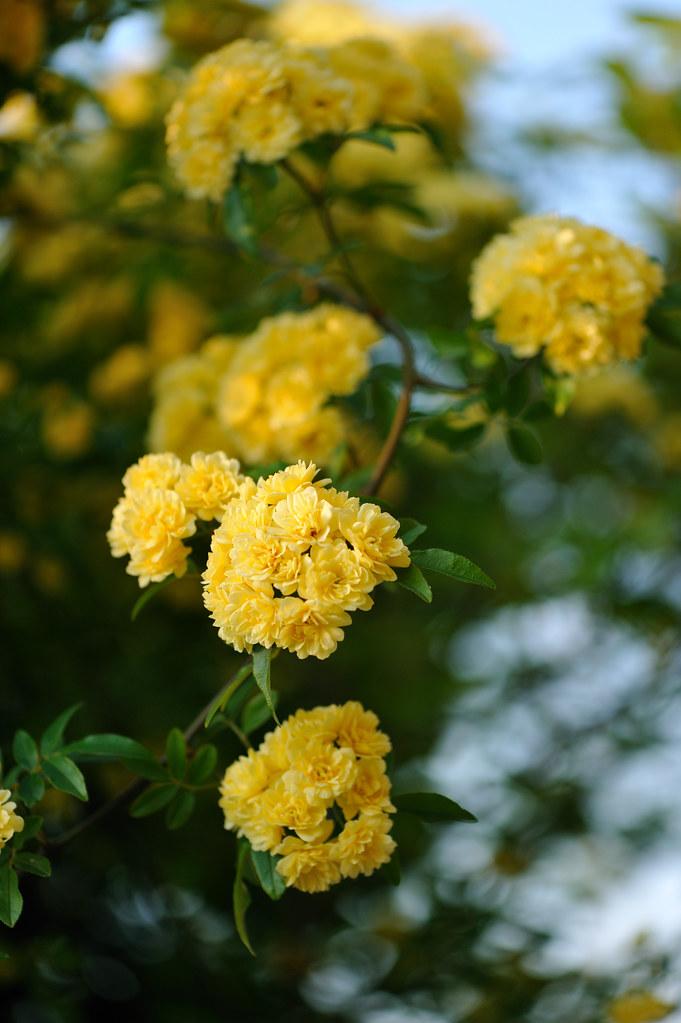 Jasmine Terrace: モッコウバラ(木香薔薇) In My Garden 学名 Rosa Banksiae Lutea