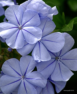 plainly plumbago | by Teresa Pople Photography
